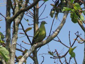 Pompadaur Green Pigeon